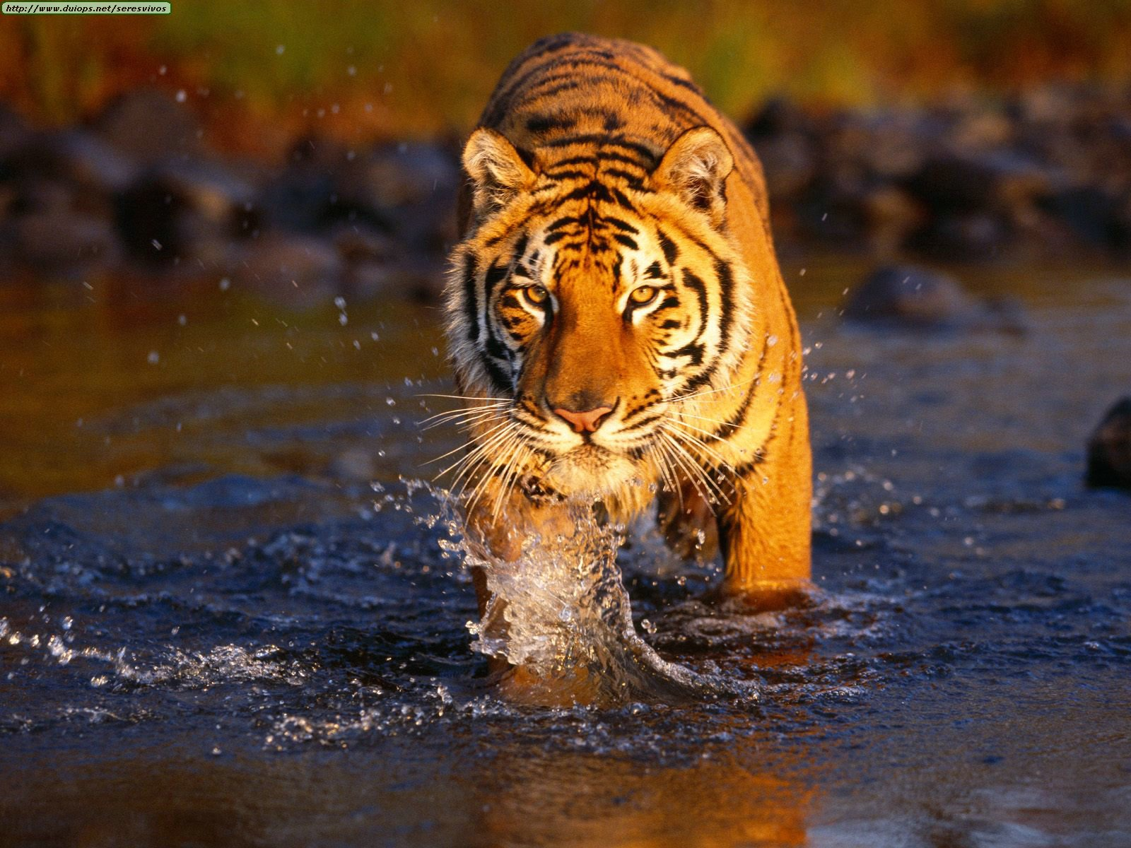 Creek%20Crossing,%20Bengal%20Tiger[1]