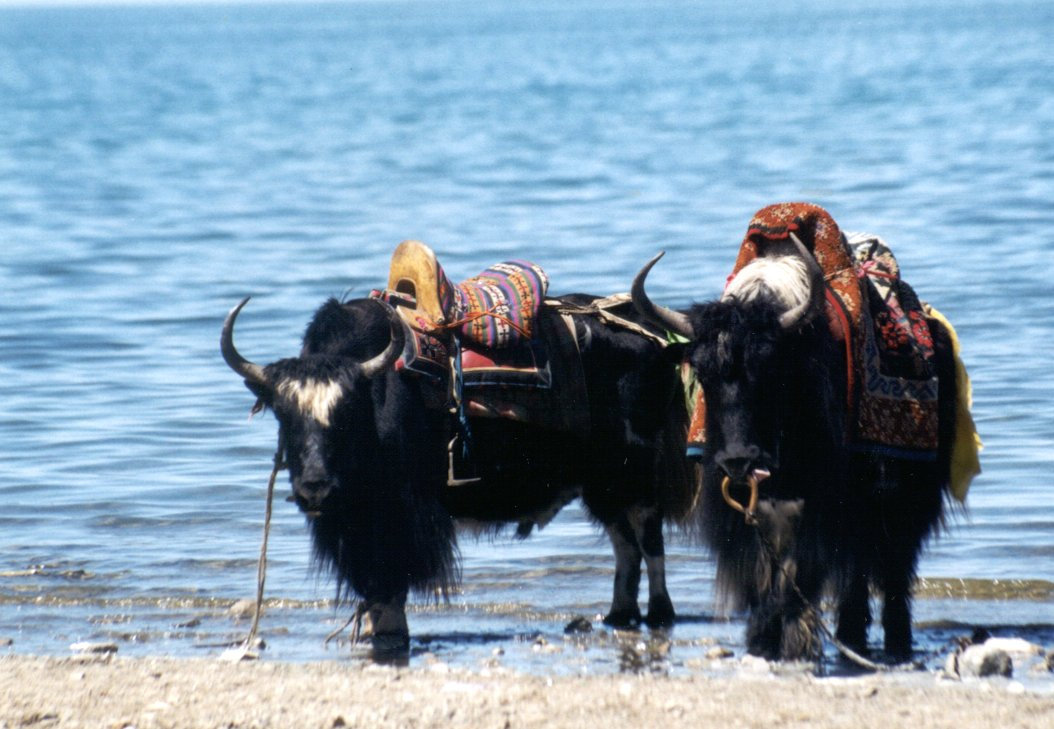 Yaks%20by%20Lake%20Kokonor[1].jpg